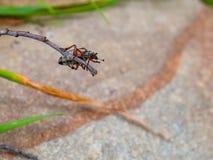 Suspensão listrada do besouro do escaravelho de cabeça para baixo fotografia de stock royalty free