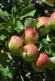 Suspensão vermelha das maçãs Foto de Stock Royalty Free