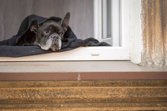 Suspense. Bulldog lying on the windowsill. Stock Photos