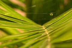 Suspension. A small green spider suspended in his web on a palm leaf royalty free stock images