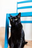 Suspicious black cat hiding under a chair. Suspicious black cat hiding under a blue chair, looking around royalty free stock photography