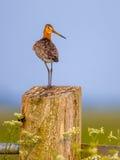 Suspicious Black-tailed Godwit on post Stock Photo