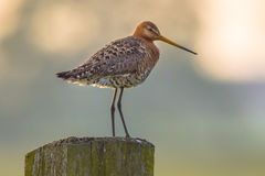 Suspicious Black-tailed Godwit on post with pastel colored backg Royalty Free Stock Images
