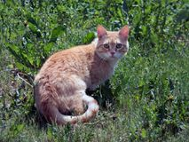The suspicious cat. In green grass Stock Photography