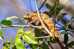 Suspicious chameleon Stock Photo