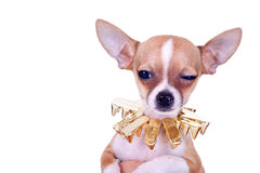 Suspicious chihuahua puppy stock image