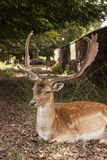 Suspicious Fallow Stag at Dunham Massey, Cheshire Royalty Free Stock Images