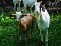 Suspicious goat. Suspicious little goat portrait in Farm animals Collection of picture such as goat Stock Image