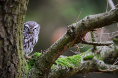 Suspicious Little owl Stock Photo