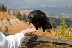 A suspicious raven Royalty Free Stock Photography