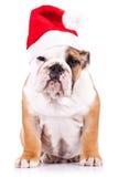 Suspicious santa english bulldog puppy Stock Photo