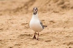 A suspicious seagull on a beach royalty free stock photo