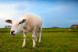 Suspicious sheep via wide angle Royalty Free Stock Images