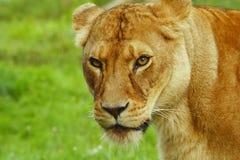 suspiious的雌狮 免版税库存图片