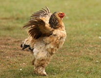 Sussex Bantam Chicken royalty free stock images