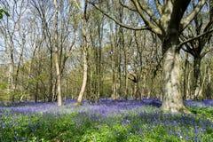 Sussex Bluebells Stock Photo