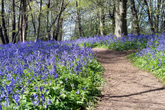 Sussex Bluebells Royalty Free Stock Photo