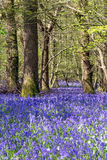Sussex Bluebells Royalty Free Stock Photography