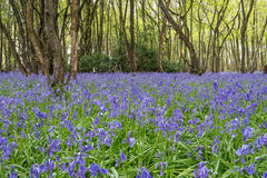 Sussex Bluebells Royalty Free Stock Images