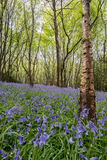 Sussex Bluebells Royalty Free Stock Image
