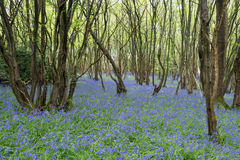 Sussex Bluebells Stock Photography
