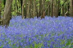 Sussex Bluebells Stock Photos