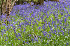 Sussex Bluebells Stock Image