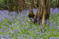 Sussex Bluebells Royalty Free Stock Photos