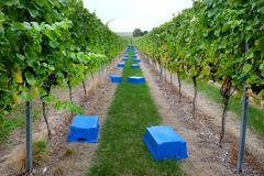 Empty crates ready to collect grapes in a vineyard. Sussex, england, united kingdom, wine growing region, looking down two long rows of grape vines in a vineyard stock image