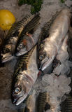 Sussex Mackerel Royalty Free Stock Photo