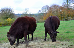 Sussex rare breed cattle. Stock Images