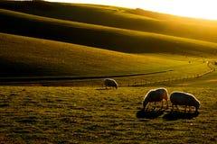 Sussex Rolling Hills med tre får i förgrunden som betar i ett fält Royaltyfri Fotografi