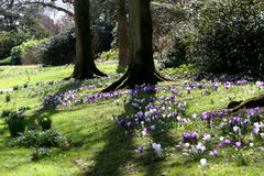 Sussex Springtime 2. A Field of wild crocus in Sussex England in Early Spring stock photo