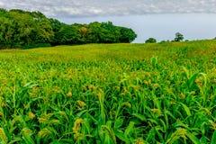 Sussex-tournesol est de Rye photos libres de droits