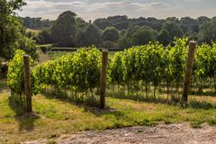 A Sussex Vineyard. A vineyard in Sussex on a sunny summer`s evening royalty free stock images