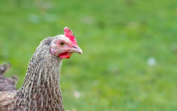 Sussex white chicken in the garden Royalty Free Stock Image