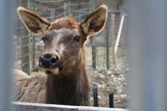 Sussurros dos cervos Imagens de Stock