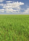 Sustainable agriculture. View of a field planted with cereals Stock Images