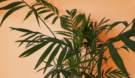 Palm tropical for background with a actual colors. Tropical palm. Plants green and orange natural a beautiful colors Stock Photos