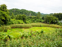Sustainable Corn field, Chiang Mai Royalty Free Stock Image