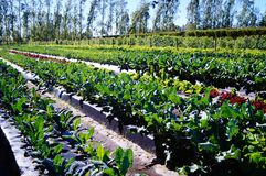 Sustainable Farming in South Florida. Sustainable farm in Indiantown, FL producing kale and lettuces. Using organic practices and water table management to royalty free stock photos
