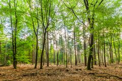 Sustainably managed natural forest with Beech trees