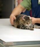 Sustentar um gato para um raio X Foto de Stock