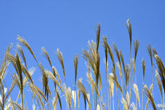 Susuki Grass Royalty Free Stock Images