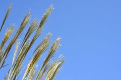 Susuki Grass Royalty Free Stock Photos