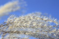 Susuki (Japanese pampas grass) Stock Photo