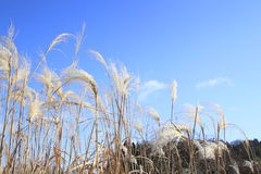 Susuki (Japanese pampas grass) Stock Photography