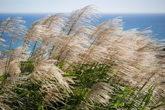 Susuki Japanese Pampas Grass,Miscanthus sinensis blowing in the breeze in Ibaraki,Japan. Miscanthus sinensis is a species of flowering plant in the grass family stock photo