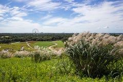 SusukiJapanese pampasów trawy, Miscanthus sinensis behind z Kochia polami, i ferris koło, Hitachi nadmorski park, Ibaraki, Japoni Fotografia Stock