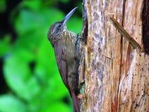 Susurrans de xiphorhynchus de Woodcreeper-Trepador Gorgianteado- de cacao Images stock